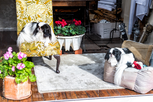 Wallpaper Mural Japanese Chin small dog breed pedigree canines resting sitting indoors on chairs