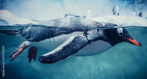 Fotografie, Obraz Gentoo penguin swimming marine life underwater ocean / Penguin on surface and di