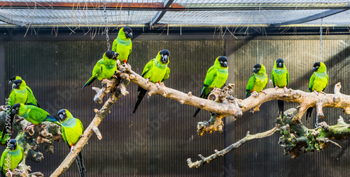 Canvas Print Aviculture, A branch with Nanday parakeets in a aviary, popular pets in avicultu