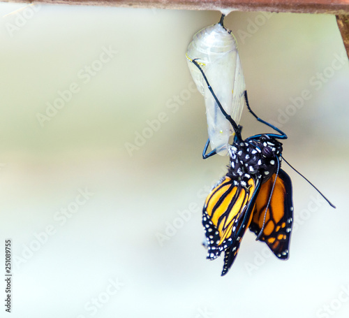 Monarch butterfly emerging from chrysalis cocoon Fototapet