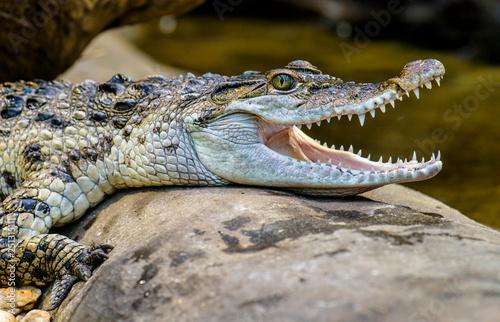 Photo Freshwater crocodile ( Crocodylus mindorensis ) living in Philippine