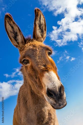 Slika na platnu Funny donkey in Mallorca, Balearic Islands, Spain