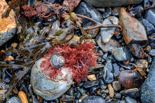 Obraz na płótnie periwinkle snail seaweed and rocks macro