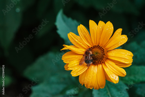 Fluffy bumblebee on juicy yellow flower with orange center and vivid pleasant pure petals Fototapeta