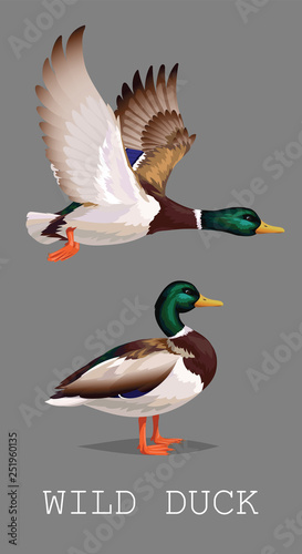 Stampa su Tela Wild Duck standing and flying