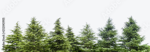 Carta da parati cedar trees isolated