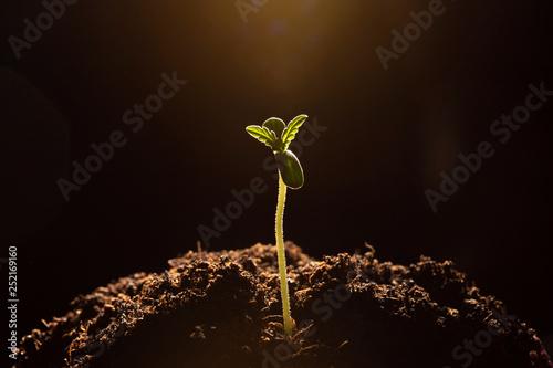 Photo marijuana sprout  in soil close-up dark background