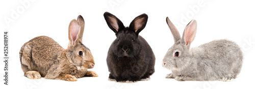 Obraz na płótnie Three rabbits together isolated on white background