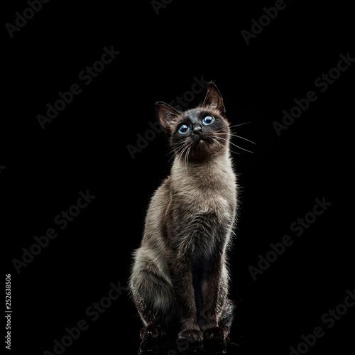 Fotografia Siamese cat on a black