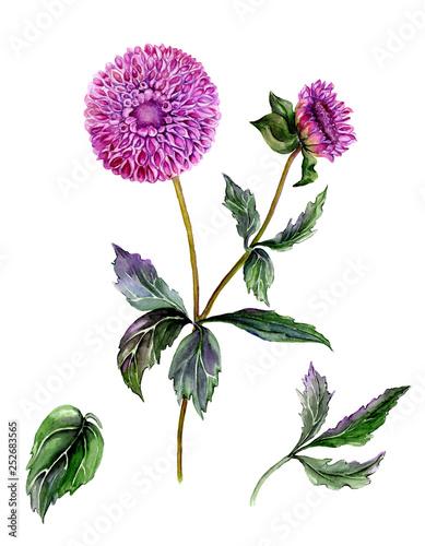 Beautiful purple dahlia flower on a stem with green leaves Fototapeta