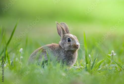Leinwand Poster Cute rabbit sitting on green field spring meadow / Easter bunny hunt