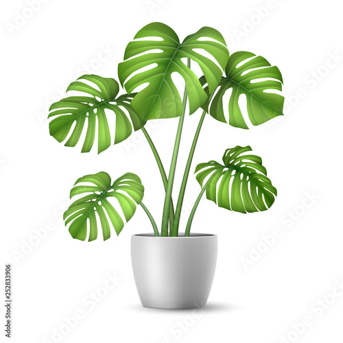 Canvas Print Monstera in a flower pot isolated