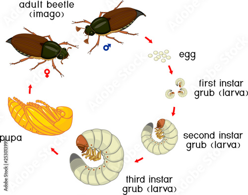 Canvas-taulu Life cycle of cockchafer