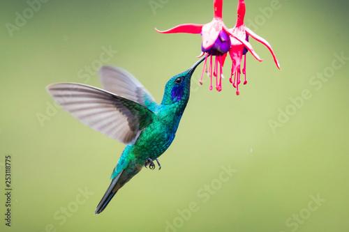 Hummingbirds - flying diamonds Fototapeta