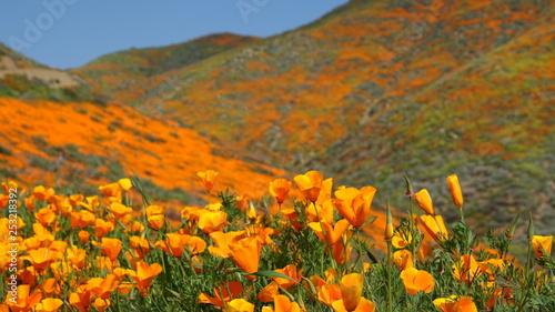 Fotografie, Obraz Rolling hills of blooming poppies