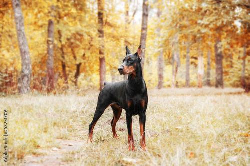 Fotografija Doberman Pinscher on the background of autumn trees