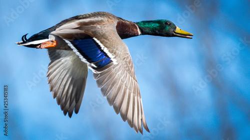 Fotografia Mallard male duck in flight