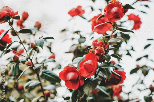 Beautiful tender blossoming red camelia flowers in spring garden Fototapeta