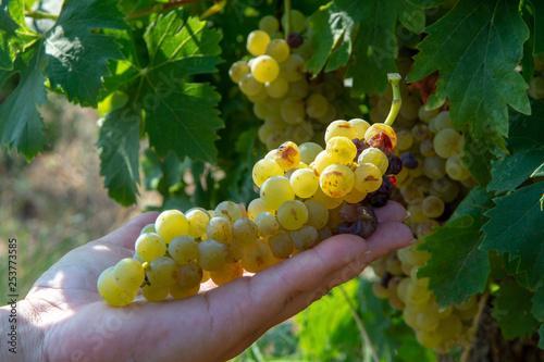 Carta da parati Ripe white wine grapes plants on vineyard in France, white ripe muscat grape new