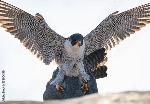 Fototapeta Peregrine Falcons Mating