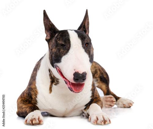 Fotografia Bullterrier Dog  Isolated  on white Background in studio