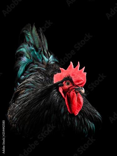 black rooster australorp (Gallus gallus) Fototapeta