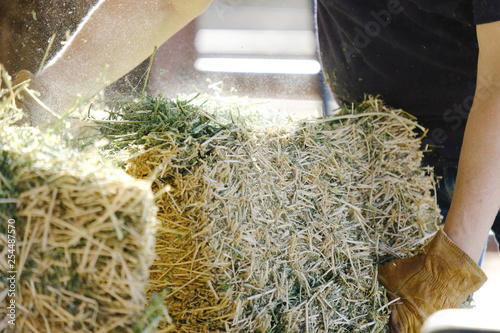 Valokuvatapetti Alfalfa hay being fed during farm chores, shows woman working ranch labor