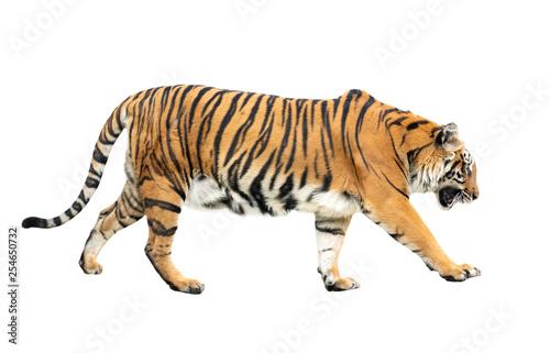 Fototapeta bengal tiger isolated