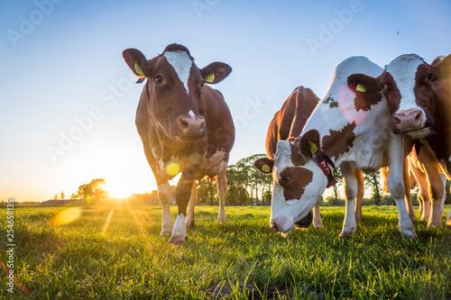 Tableau sur Toile Cows