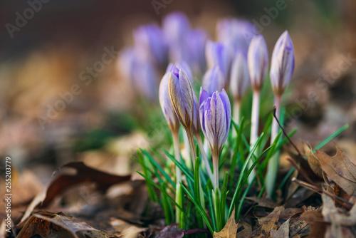 Canvas Print crocus flowers blooming in the Spring