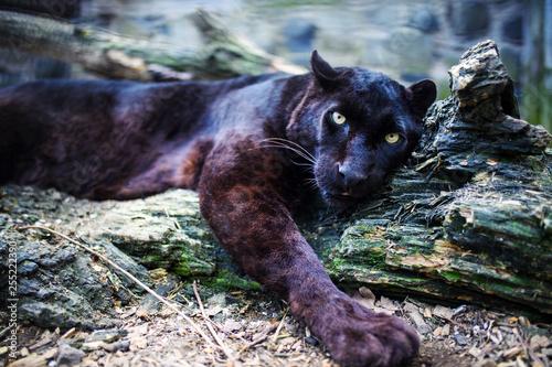 Obraz na plátně Beautiful black Panther