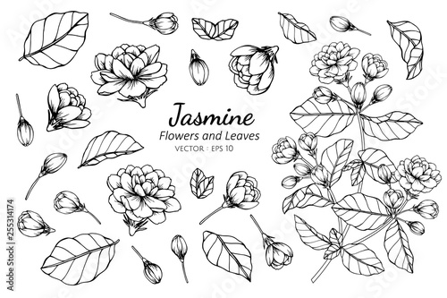 Photo Collection set of jasmine flower and leaves drawing illustration.