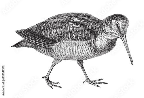 Obraz na płótnie Eurasian Woodcock (Scolopax rusticola) / vintage illustration from Meyers Konver