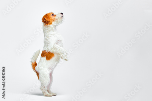 Jack Russell Terrier standing on its hind legs on a white background, copy space Fototapet