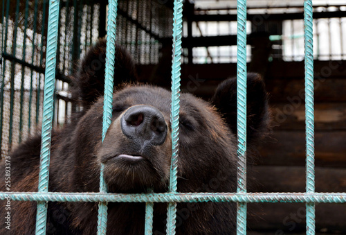 Valokuvatapetti Bear in captivity in a zoo behind bars