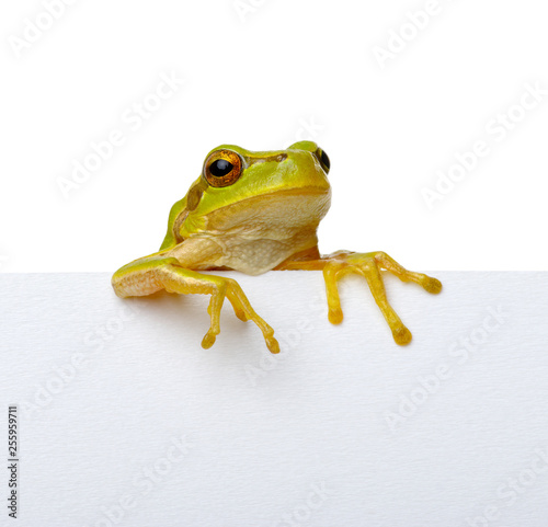 Fotografie, Tablou Green frog and text message.