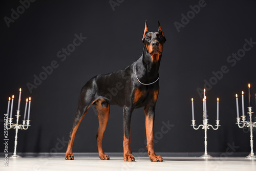 A beautiful young Doberman stands against a black wall and candlesticks with burning candles Fototapete