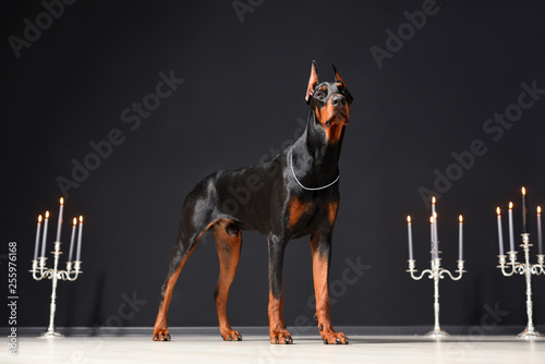 Fotografija A beautiful young Doberman stands against a black wall and candlesticks with burning candles