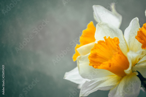 Canvas Print Bouquet of spring daffodils