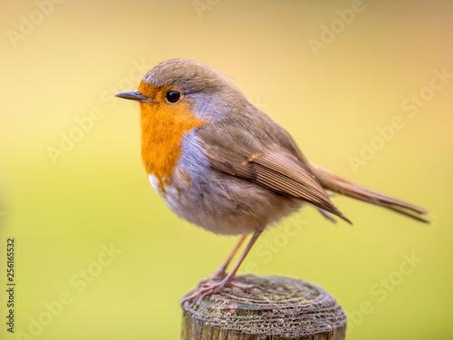 Carta da parati Cute Red Robin with bright background