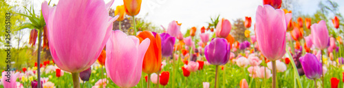 Photo colorful tulips. tulips in spring,colourful tulip