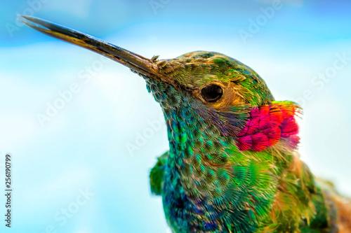 hummingbird close-up portrait, macro feather detail Fototapeta