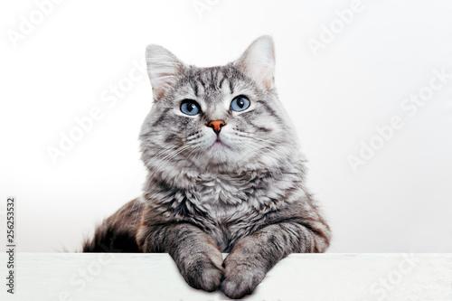 Wallpaper Mural Funny large longhair gray tabby cute kitten with beautiful blue eyes
