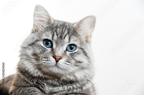 Photo Funny large longhair gray tabby cute kitten with beautiful blue eyes
