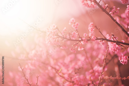 Blossoming cherry blossom branch in spring seasonal ,flower background Fototapete