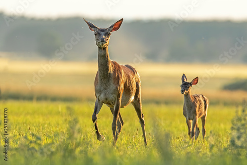 Obraz na płótnie Red deer hind with calf walking at sunset
