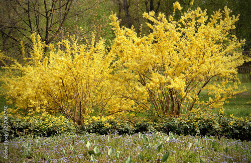 Fotografija Blooming yellow forsythia bushes
