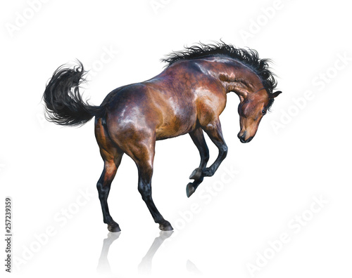 Fototapeta Brown horse jumps isolated on white background
