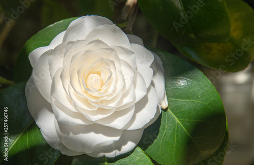Fotografering close-up of a flower, white camellia