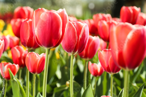 Fresh red tulip flowers in the garden #257488777